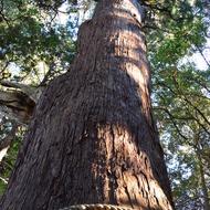 東日本一の大杉(御神木)樹齢1200年